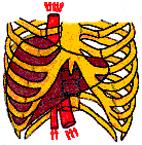 Normal blodgennemstrømning og leverfunktion
